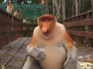Lab Bay Proboscis Monkey Sanctuary