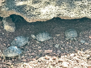 Baby tortoises this time