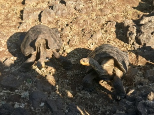 Another pair of tortoises