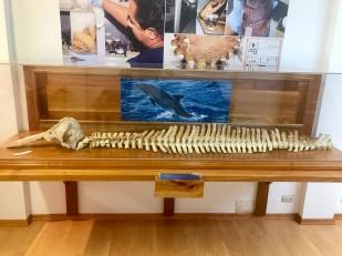 Dolphin skeleton