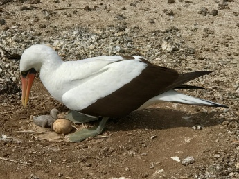 When two eggs are laid, they'll generally abandon one of them