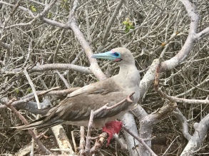 Another red-footed booby
