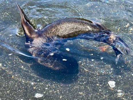 A fur seal swimming...
